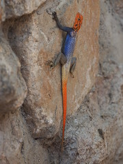 Namibia - Lizard (sharko333) Tags: travel voyage reise africa afrika afrique namibia animal lizard olympus em1