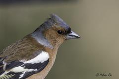 Common Chaffinch (Halvor Roe) Tags: bokfink finker fugler gjennestadvannet norge sandefjord