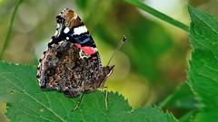 Vanessa atalanta (KOMSIS) Tags: kelebek butterfly schmetterlinge papillon farfalle vlinder borboleta mariposa तितली 蝶 פרפר پروانه πεταλούδα лептир ผีเสื้อ көбелек пеперуда kəpənək бабочка bábochka leptir conbướm féileacán fjärilar fiðrildi dagfjärilar päiväperhonen perhonen motýl motyl motýľ motýlů motýlech animal animalia arthropoda insecta lepidoptera nymphalidae insect vanessaatalanta redadmiral atalantakelebeği plant leaf minimalism macro outdoor wildlife field serene nikon nikond700 sigma 150mm 28os ngc wow cathy colorful colors catchycolors バタフライ papallona 蝴蝶