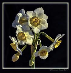 Nadaletes (Narcissus tazetta) Bunch-flowered Daffodil (El Perelló, la Ribera Baixa, València, Spain) (Rafel Ferrandis) Tags: nadaletes flor contrallum perelló marjal hdr eos7dmkii ef100mmlmacro