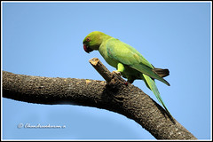 6787 - parakeet (chandrasekaran a 40 lakhs views Thanks to all) Tags: parakeet birds nature india chennai canon powershotsx60hs