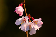 Cherry Blossoms (Somei-Yoshino) : ソメイヨシノ (Dakiny) Tags: 2017 spring march japan kanagawa yokohama aoba ichigao outdoor nature field plant tree flower cherry blossom cherryblossoms yoshino someiyoshino macro bokeh nikon d7000 tamron 70300mm sp70300mmf456divcusd a005 modela005 nikonclubit