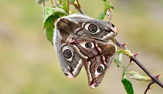 Emperor Moths (Saturnia pavonia)