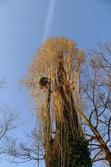 Populus (arborist.ch) Tags: baumpflege baum baumklettern arborist arboriculture wood treecare treeclimbing tree