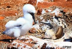 Giant Chick (Mahmoud R Maheri) Tags: bird bluefootedbooby galapagos seymoreisland chick care nest ecuador pacificocean naturereserve