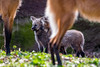 20170402-Mähnenwolf, Tiergarten Nürnberg-010.jpg (serpentes80) Tags: mähnenwolf tiere tiergartennürnberg