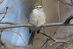 Chipping Sparrow 4-4-2017-2 (Scott Alan McClurg) Tags: emberizidae passeri passeroidea spasserina spizella animal back backyard bird chipping chippingsparrow eat life nature naturephotography neighborhood perch perching songbird sparrow spring suburbs tree wild wildlife woods yard delaware