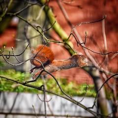 เสียดาย กิ่งไม้เยอะไปหน่อย หลุดโฟกัส #กระรอกบิน #squirrel #spring #hamburg #i_am_nikon #d7200nikon #18300vr