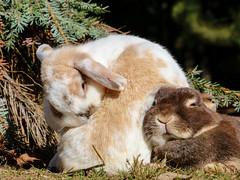 IMG_8766 (2).jpg (land_der_tiere) Tags: kaninchen rabbit rabbits bunny bunnies cony conys lapin lapins hoppeln scuttle scamper lollop schnüffeln snooping schnurrhaare schnurrbart whisker vibrisse puschel tuft paw foot pfote pfötchen land der tiere lebenshof animals sanctuary freiheit artgerecht tierschutz tierrecht tierbefreiung tiernothilfe stiftung tierrettung artenschutz rights liberation animal tier tierschutzzentrum mecklenburgvorpommern banzin vellahn hamburg ludwigslust biosphärenreservat schalsee unversehrt selbstbestimmt selbstbestimmung unversehrtheit