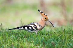 Upupa - Hoopoe (Attilio Piselli) Tags: bird avifauna wildlife hoopoe upupaepops upupa