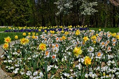 DSC_0046 (Me now0) Tags: spring park europe nikond5300 1855mmf3556 basiclens afternoon пролет никонд5300 китовобектив софиябългарияевропа юженпарк daffodils нарцис