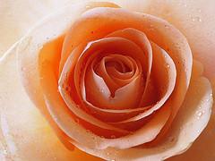 Rose Portrait (Smiffy'37) Tags: rose apricot flower closeup macro waterdrops nature portrait plant