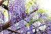 DSC_1555 (sayo-tsu) Tags: 藤 wisteria 牛島のフジ 春日部市 埼玉県 kasukabe saitama 特別天然記念物