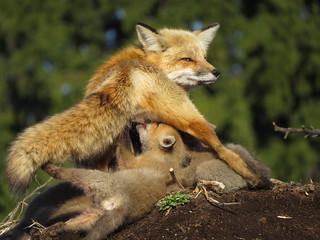 Maman renard roux et ses renardeaux | Jardin botanique de Montréal | Montréal [Explore | 2017-04-16 | 2]