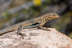 Side-Blotched Lizard catching some rays (D Kaposi) Tags: arizona sonoranpreserve 2017 apachewashtrail taxonomy:kingdom=animalia animalia taxonomy:phylum=chordata chordata taxonomy:subphylum=vertebrata vertebrata taxonomy:class=reptilia reptilia taxonomy:order=squamata squamata taxonomy:suborder=sauria sauria taxonomy:family=phrynosomatidae phrynosomatidae taxonomy:genus=uta uta taxonomy:species=stansburiana taxonomy:binomial=utastansburiana lagartijademanchalateralnorteña lézardàflancsmaculés tozípla lagartijamanchadanorteña sideblotchedlizard commonsideblotchedlizard utastansburiana taxonomy:common=lagartijademanchalateralnorteña taxonomy:common=lézardàflancsmaculés taxonomy:common=tozípla taxonomy:common=lagartijamanchadanorteña taxonomy:common=sideblotchedlizard taxonomy:common=commonsideblotchedlizard az