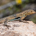Side-Blotched Lizard catching some rays