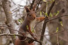 Nyfiken (tusenord) Tags: bestof fotosondag ekorrar ågelsjön varkanslor fs170416 squirrel sciurus vulgares sciurusvulgares