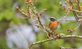 Redstart in tree