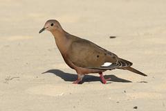 Zenaida Dove - Zenaida aurita (Roger Wasley) Tags: zenaida dove aurita san juan beach puerto rico west indies wild bird caribbean tropical neotropical