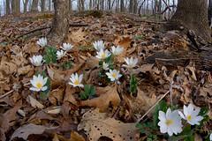 Bloodroots on the Blue Ridge (scott_clark) Tags: bloodroot sanguinariacanadensis flower wildflower plant nature blueridge blueridgeparkway virginia outdoors spring