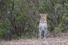 Fig, the female lepard of Olare Orek (Ring a Ding Ding) Tags: 2017 africa bigcat fig kenya kitcheche olareorek pantheraleo cat female leopard nature predator safari wildcat wildlife narokcounty masaimara