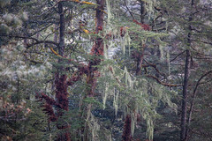 old man's beard (s.v.e.n.) Tags: nepal himalaya tree forest old mans beard lichen trekking everest