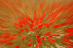 Explosión primaveral (Antonio Martínez Tomás) Tags: amapola papaverrhoeas campodeamapolas movimientointencionadodecámara icm