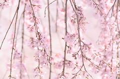 ふるような。 (ゆうき。) Tags: nikon d5000 spring nature pink sakura 桜 春 ピンク