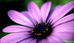 study in purple (kimbenson45) Tags: purple flower daisy shallowdepthoffield differentialfocus centre flowerscolors