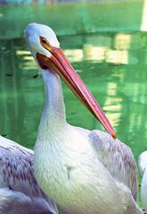 Memphis Zoo 08-31-2016 - American White Pelican 3 (David441491) Tags: americanwhitepelican pelican bird memphiszoo