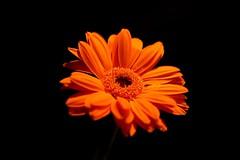 Orange On Black (Psychic Insights) Tags: macro flwoers petals orange black nature indoors depthofflield cannon
