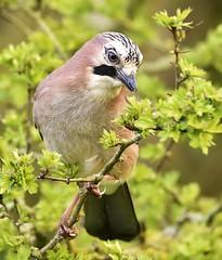 Jay (charlie.syme) Tags: jay bird tree wildlife durham nikon corvid