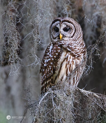 Barred_0509 (sugarzebra) Tags: owl barred barredowl raptor predator perched canon 1dx bird
