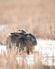 terrified (Nippe16) Tags: rabbit wildlife outdoor animal bokeh sun sunlight golden photo photography pastel tones