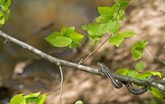 Baby Rat Snake (cre8foru2009) Tags: ratsnake pantherophisalleghaniensis aberrant stripes snake herping nature