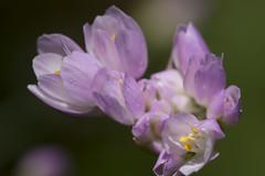 Petite fleur de garrigue (Doriane Boilly Photographie Nature) Tags: macro flowers fleur sauvage prairie nature faune flore champs printemps petite de garrigue rose douceur