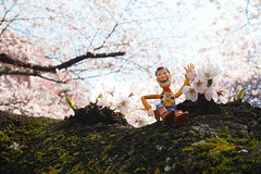 胡迪賞櫻|東京 播磨中央公園 (里卡豆) Tags: olympus penf 日本 japan 關東 kanto tokyo 東京 25mm f12 pro 2512pro woody 胡迪 胡迪人生 胡迪來了 胡迪警長