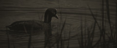 Ripples of grey (Coisroux) Tags: ripples water reflections monochrome blackandwhite grey charcoal pastels ducks birdlife glide swimming serene soft grasses depthoffield feathers d5500 nikond rivernene embankment luminance monochromia