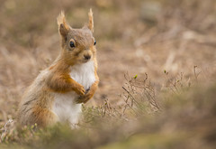 Red Squirrel (121 of 122) (ianrobertcole1971) Tags: red squirrel mammal woodland animal cute