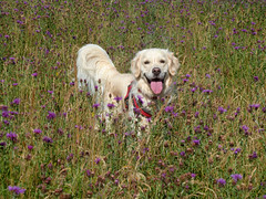 02web_P1050700a (Helen H) Tags: thistle countrypark trumpington wildlifetrust cambs cambridgeshire wild meadow goldenretriever goldie amber happy tired