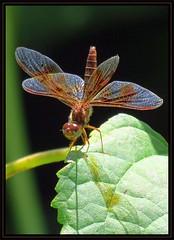 IMG_9992 Optical Illusionist 8-18-16 (arkansas traveler) Tags: amberwing dragonfly nature naturewatcher natureartphotography zoom telephoto shadow bokeh bokehlicious