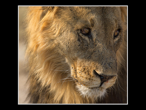 Contemplative Lion by Rick Shoenfield - Class B Digital Honorable Mention - March 2017