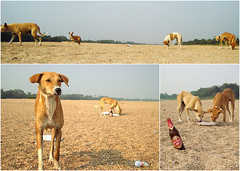 dog day afternoon (blind dayze) Tags: wilddogs dogdayafternoon beachdogs