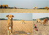 dog day afternoon (blind dayze) Tags: wilddogs dogdayafternoon beachdogs