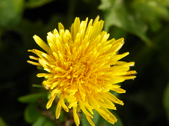 5-1-14 019 (LeeLee's pictures) Tags: 5114 mississippiriver woods nature dandelions yellow flower wildflower weeds makeawish white flyaway