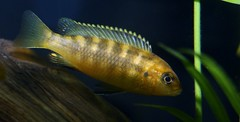 African Cichlid (shutterbusterbob) Tags: wild brown fish black green nature water grass yellow canon eos aquarium stripes wildlife stripe aquatic fin canoneos fins tropicalfish cichlid gills freshwaterfish africancichlid 70d canon70d eos70d