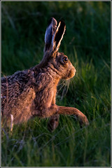 Brown Hare in the evening light. (Smudge 9000) Tags: england brown nature kent spring hare european unitedkingdom wildlife reserve 2014 brownhare lepuseuropaeus elmley