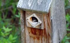 Hello World! (ChicaD58) Tags: nature spring birdhouse curious easternbluebird babybluebird 053b
