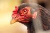 Chook (Ali Wade) Tags: chicken animal farm cotswolds hen beady chook cotswoldfarmpark
