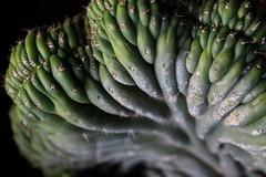 Cactus in Chiquian.
